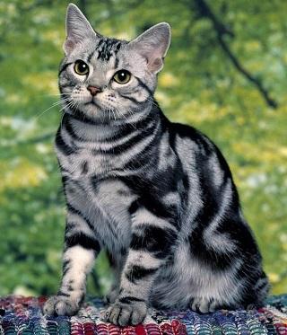 tabby-cat3